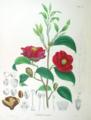 Camellia japonica SZ82.png