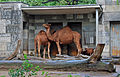 Camelus0505b.jpg