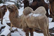 Camelus bactrianus in Zurich Zoo 6.jpg