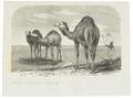 Camelus dromedarius - 1700-1880 - Print - Iconographia Zoologica - Special Collections University of Amsterdam - UBA01 IZ21600045.tif