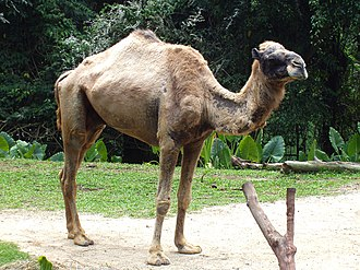 Even-toed ungulate - Camels are now considered a sister group of Artiofabula.