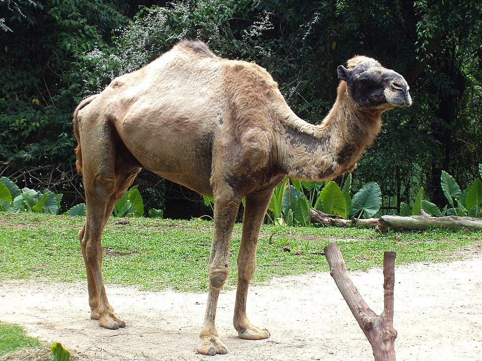 Camelus dromedarius in Singapore Zoo