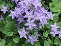 Campanula fenestrellata ssp. istriaca-IMG 1541.jpg