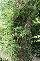 Campsis grandiflora 4zz.jpg
