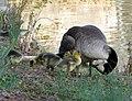 Canada Goose with Goslings (4202632683).jpg