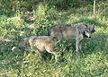 Canis lupus nebraska.jpg