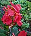 Canna lily 180911.jpg