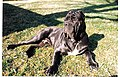 Cannon - Male Neapolitan Mastiff 1998.jpeg