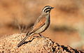 Cape Bunting, Emberiza capensis at Suikerbosrand Nature Reserve, Gauteng, South Africa (15224661941).jpg