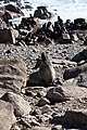 Cape fur seal (Arctocephalus pusillus pusillus) (37434674361).jpg