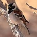 Cape sparrow-3808 - Flickr - Ragnhild & Neil Crawford.jpg