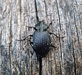 Carabidae, Licinus species - Flickr - gailhampshire.jpg