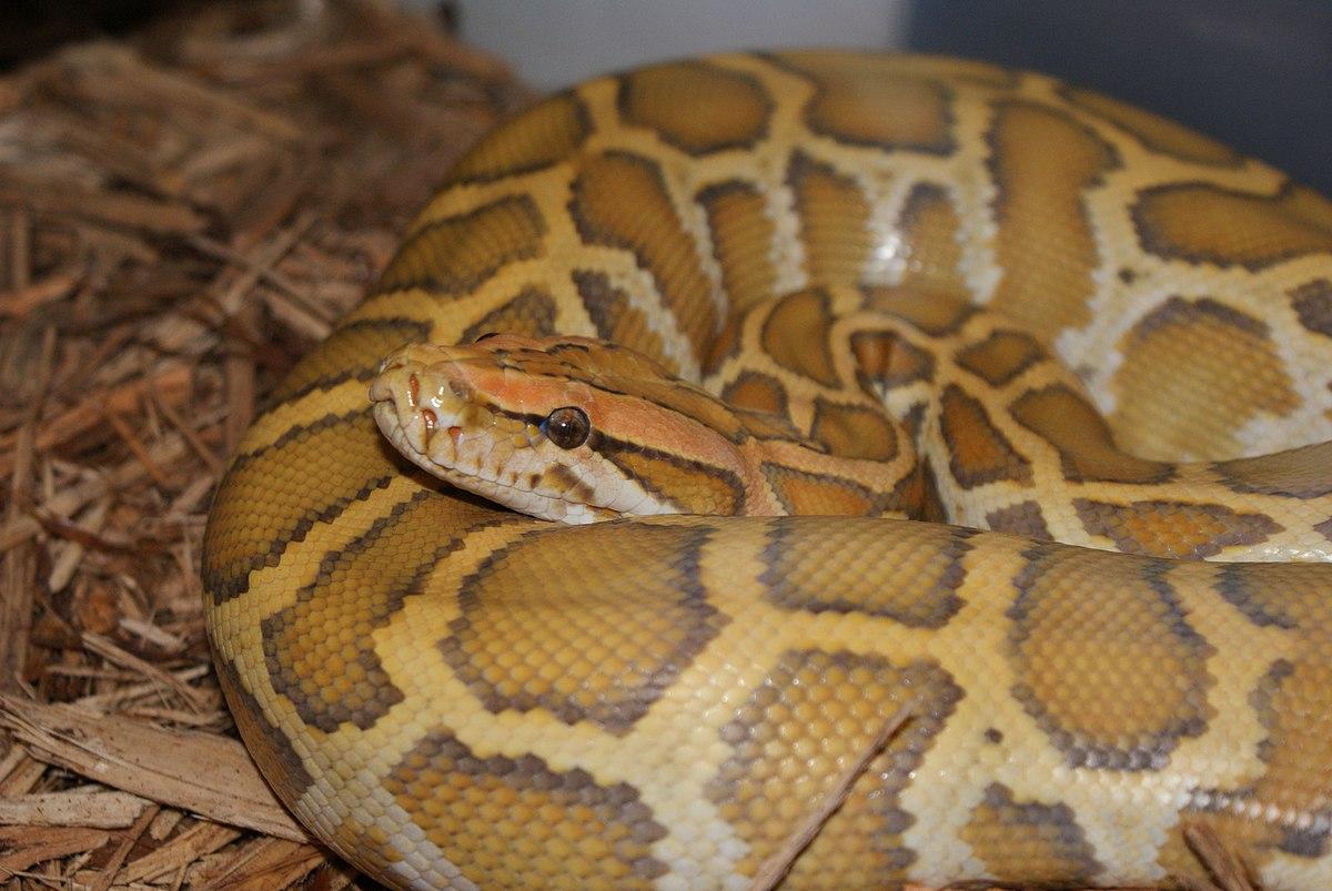 Pythonidae - Wikipedia, la enciclopedia libre