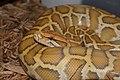 Caramel burmese python.JPG