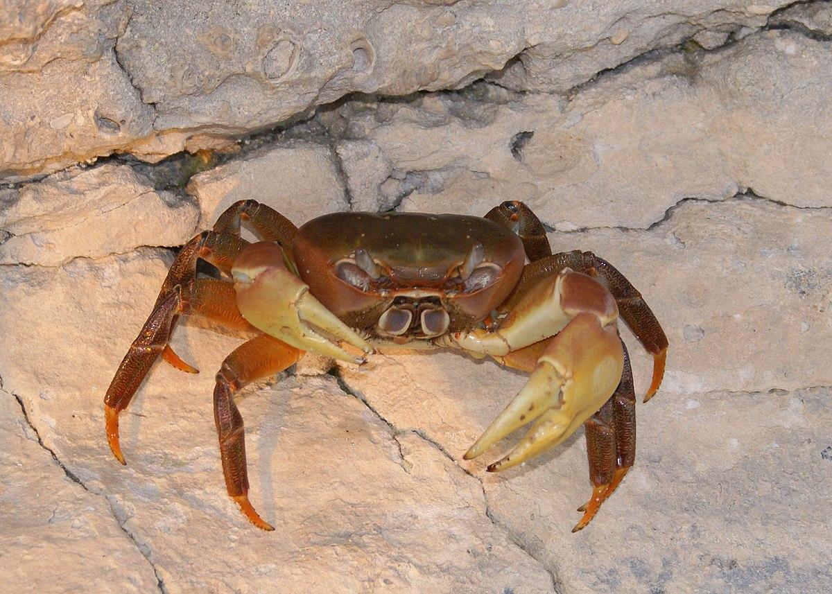 凶狠圓軸蟹。圖片來源:維基百科。