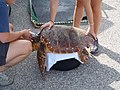 Caretta caretta rehabilitation (1).jpg