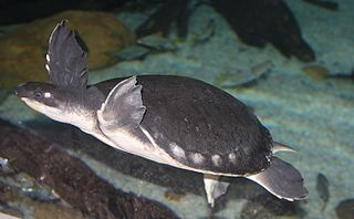 Pig-nosed turtle species of reptile