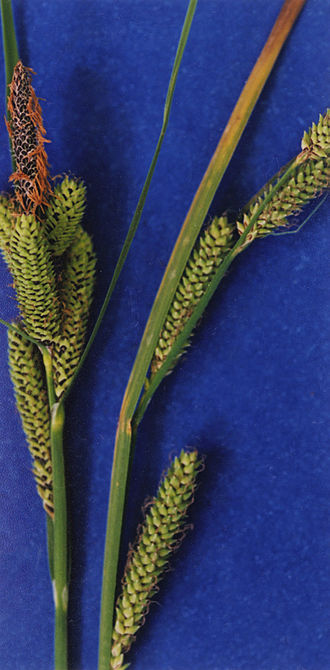 Goosegrass - Image: Carex lenticularis NRCS 2