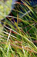 Carex magellanica.jpg