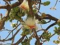 Careya Arborea019.jpg