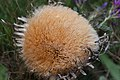 Carlina acanthifolia-5101 - Flickr - Ragnhild & Neil Crawford.jpg