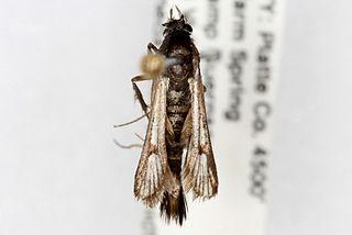 <i>Carmenta</i> (moth)