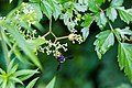 Carpenter-mimic leafcutter bee (43282702081).jpg