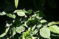 Carpinus betulus 34zz.jpg