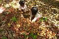 Cashew Nuts ernten mit Family Thong in Ratanakiri 17.JPG