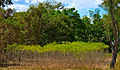 Cassava Field in Central America.jpg