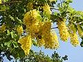 Cassia fistula flowers by Dr. Raju Kasambe DSCN4427 07.jpg