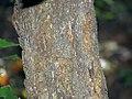 Castanea dentata 3zz.jpg