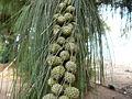Casuarina equisetifolia 0009.jpg