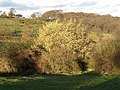 Catkins in the Range Dike valley, Farnley Tyas, Yorkshire - geograph.org.uk - 118981.jpg