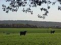 Cattle, Park Corner - geograph.org.uk - 282113.jpg