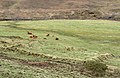 Cattle by the River Drynoch - geograph.org.uk - 1230894.jpg