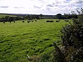 Cattle on Filleigh Moor - geograph.org.uk - 575230.jpg