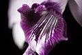 Cattleya bicalhoi fma. coerulea 'Chojamaru' Van den Berg, Neodiversity 3- 4 (2008) (26737186349).jpg