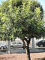 Ceratonia siliqua Habitus 26-10-2010 ArboretoParqueElPilarCiudadReal.jpg