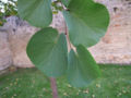 Cercis siliqastrum Blätter.jpg