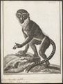 Cercopithecus diana - 1700-1880 - Print - Iconographia Zoologica - Special Collections University of Amsterdam - UBA01 IZ19900078.tif