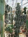 Cereus jamacaru (3771705777).jpg