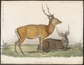 Cervus axis - 1841-1852 - Print - Iconographia Zoologica - Special Collections University of Amsterdam - UBA01 IZ21500324.tif
