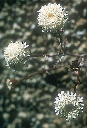 Chaenactis xantiana - Image: Chaenactis xantiana
