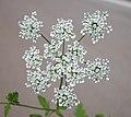 Chaerophyllum temulum inflorescence (05).jpg