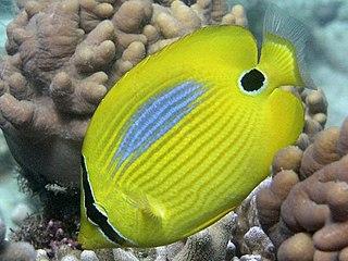 <i>Chaetodon plebeius</i> Species of fish