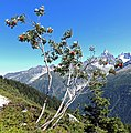 Chamonix - Sorbus.jpg