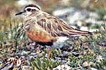 Charadrius morinellus male with chicks.jpg