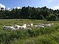 Charolais kor betar i hage utanför Kållekärr.jpg