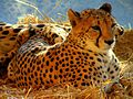 Cheetah001.jpg